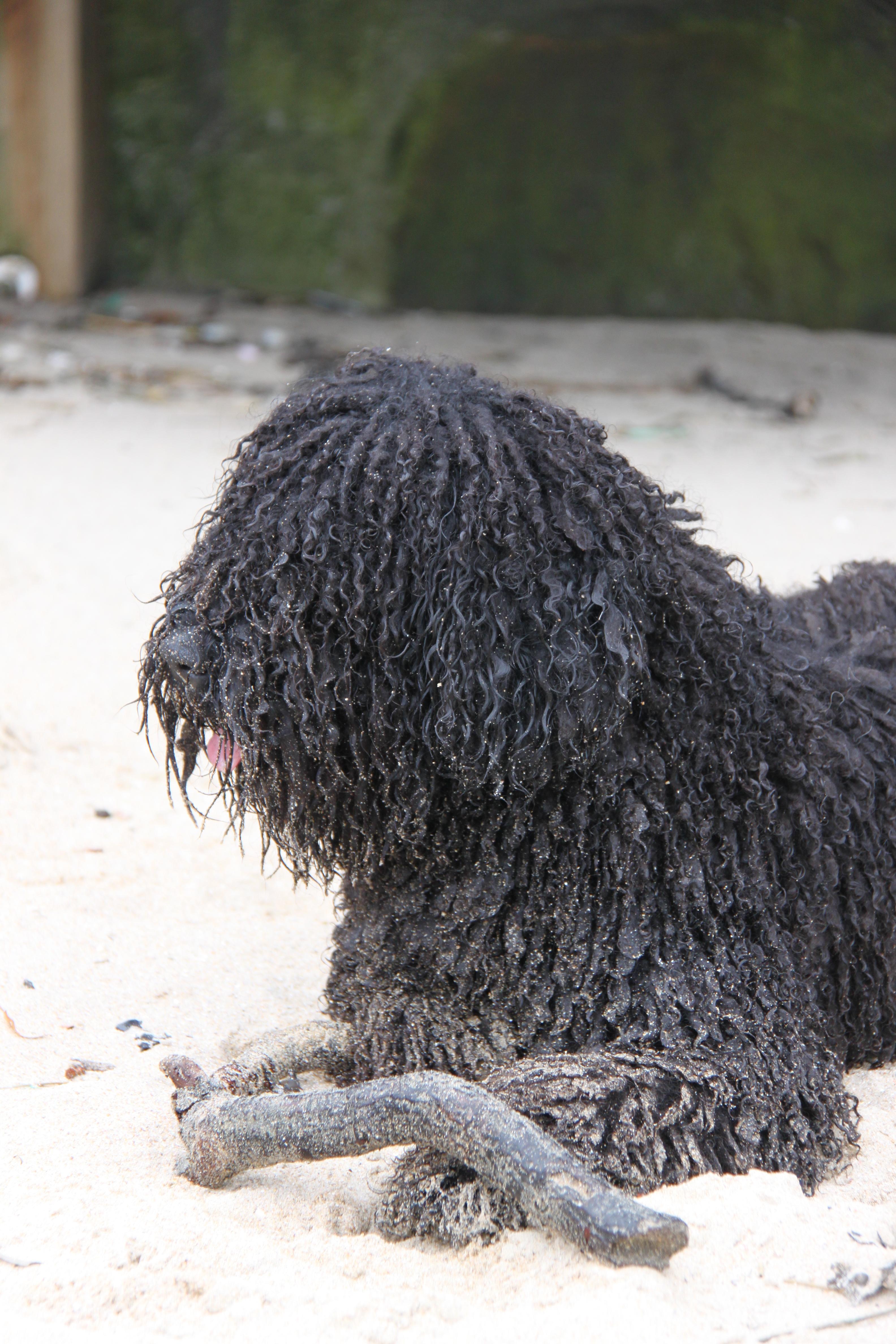 Perro De Agua Español Cuidado Del Manto Y Los Oídos